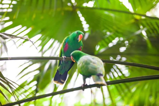 zwei grüne papageien mit essen spielen - urbanara stock-fotos und bilder
