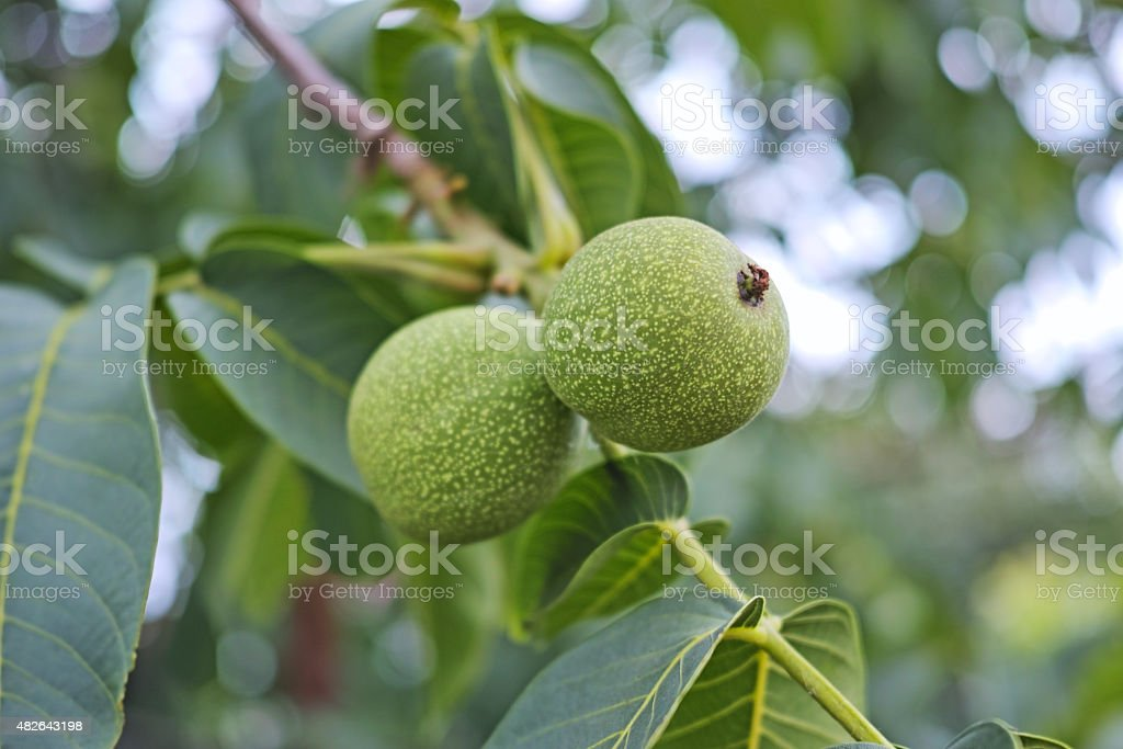 Two green walnuts stock photo