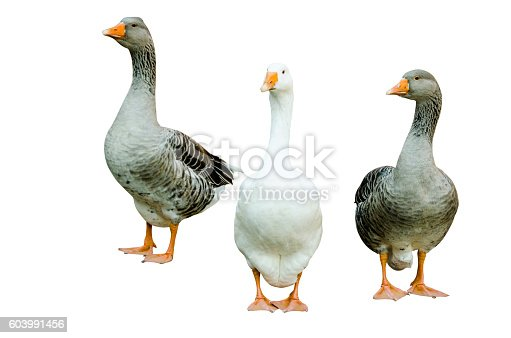 Two grey and a white goose standing and looking in to the camera, white background
