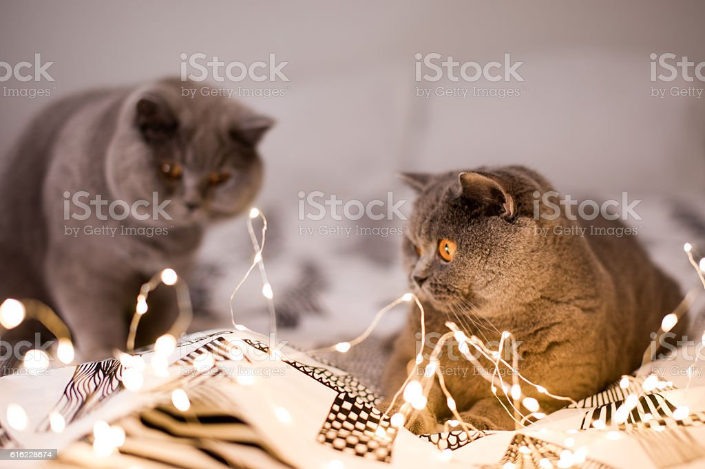 Two grey cats playing with christmas lights – Foto