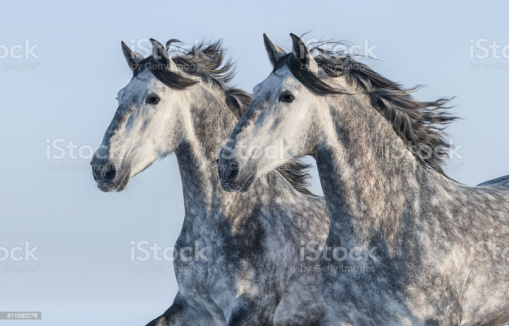 Two grey horses - portrait in motion stock photo