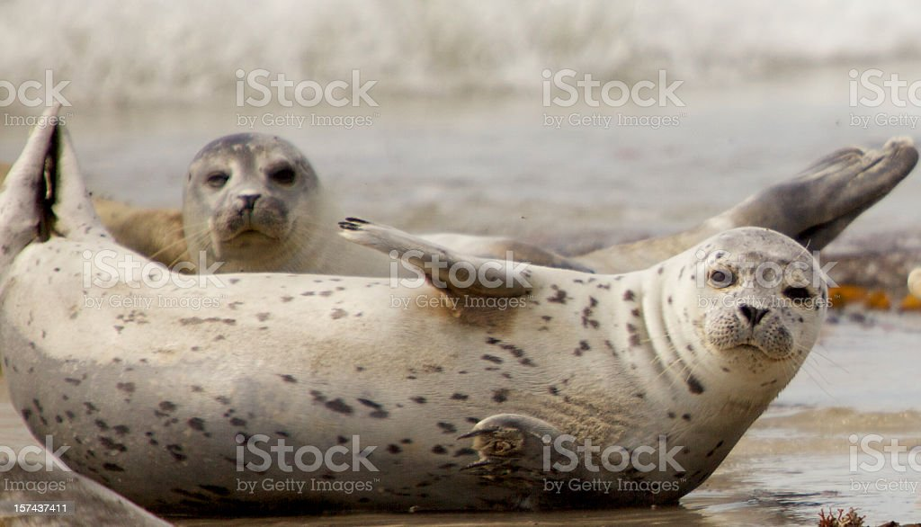 Two grey seals chilling together on a beach stock photo