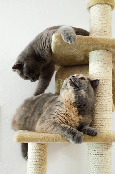 Two grey shorthair british cats playing on cat tower picture id896260468?b=1&k=6&m=896260468&s=612x612&w=0&h=ymdlt6gr 1zqjcpnmtfhfutnv8elixsht4x7mi8dof4=