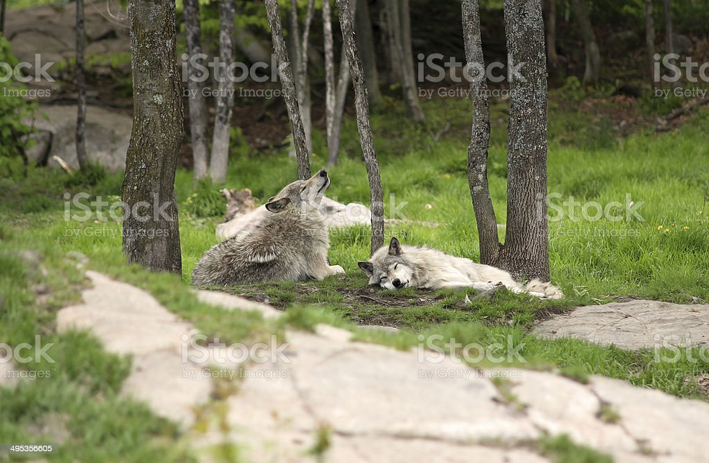 Two grey wolves relaxing stock photo