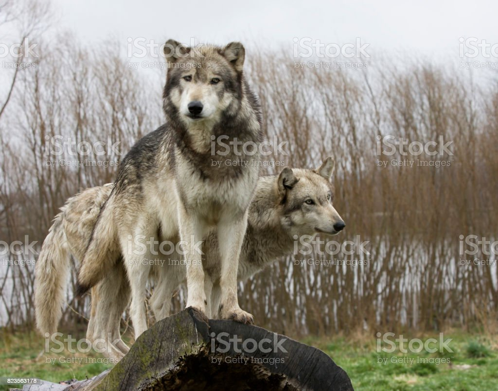 Two Grey Wolves Standing on a Log stock photo