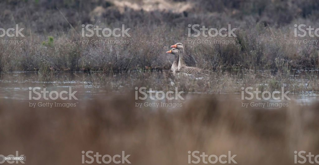 Two greylag geese in wetland. Both looking to the left, side view. stock photo