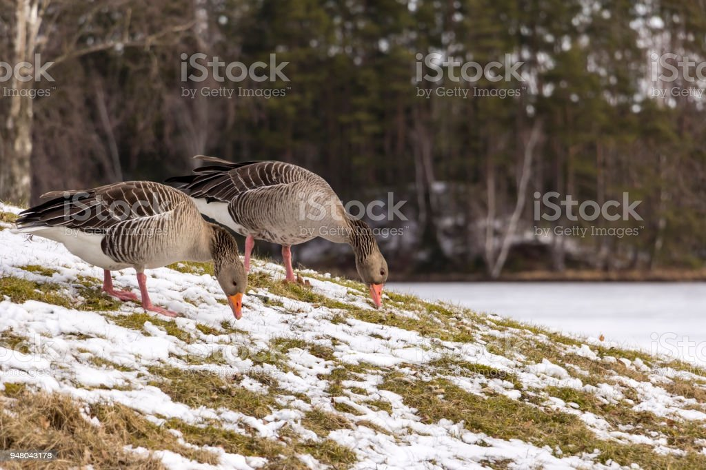 Two greylag gooses are standing on the meadow, winterday stock photo