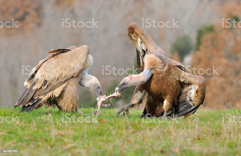 Two griffon vultures fighting over carrion in the meadow. - foto de stock