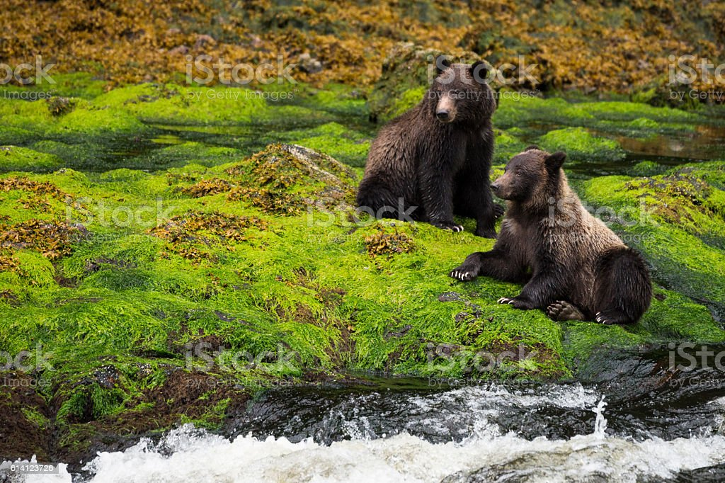 Two grizzly bears in mossy rainforest stock photo
