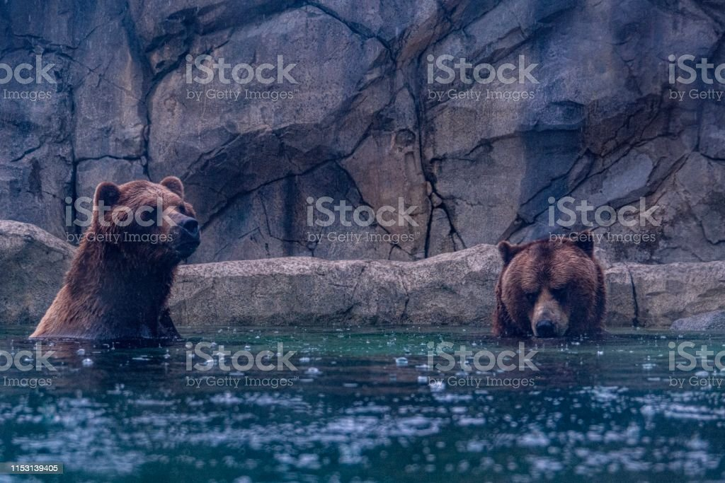 Two Grizzly Bears Sitting in the Water