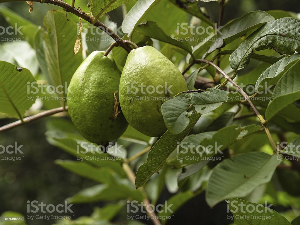 Two guava (Psidium) on branch, fruits in Paraguay, South America stock photo