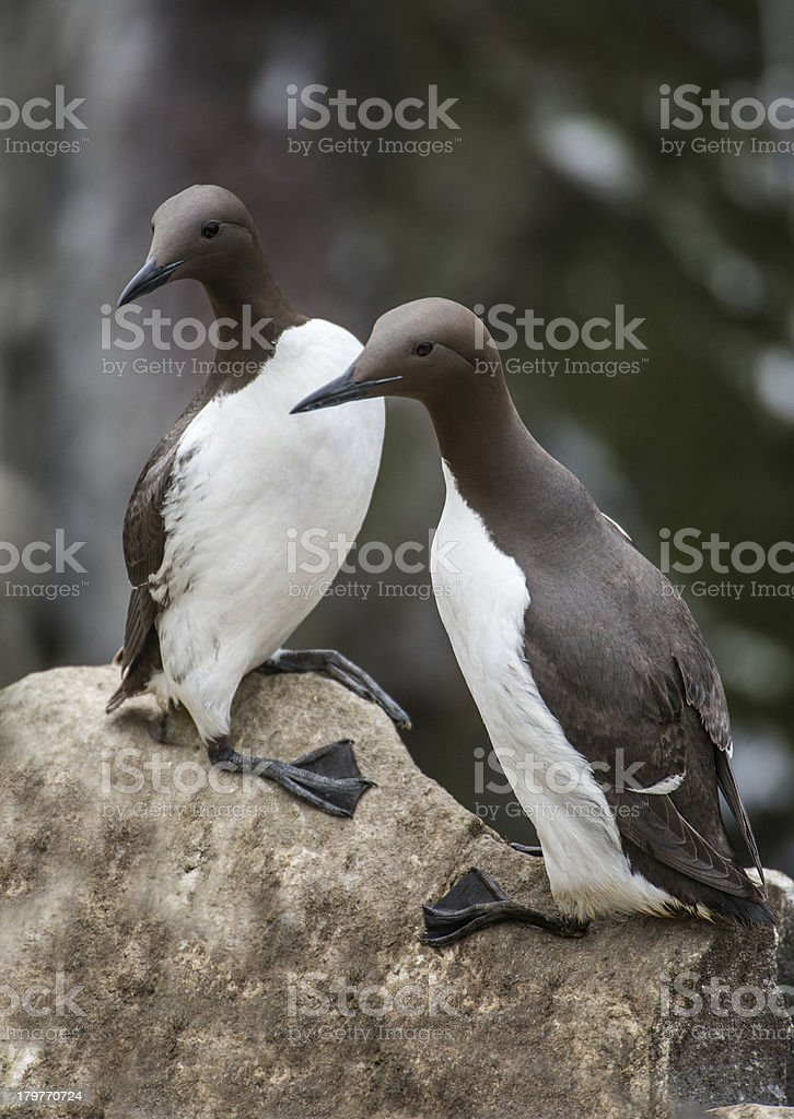 Two guillemots standing (Farne Islands, UK) stock photo