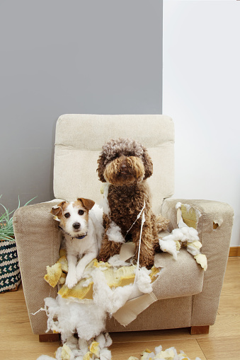 Two guilty dogs after bite and destroy a sofa with innocent expression.