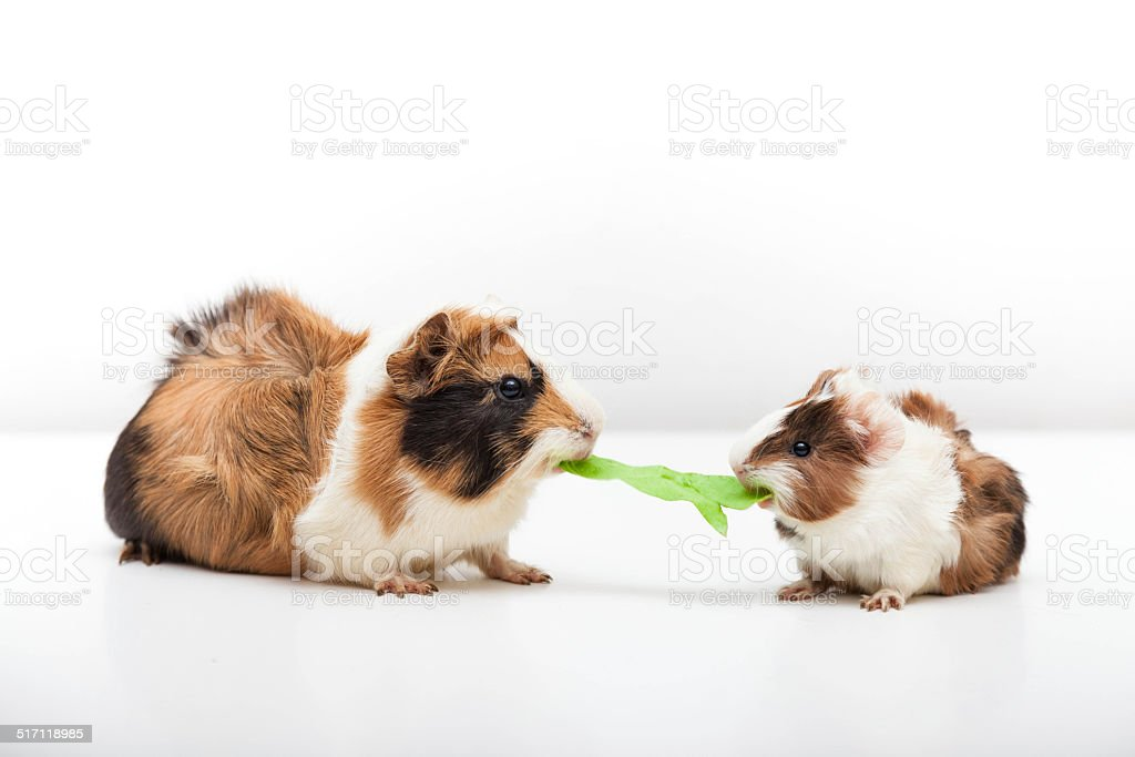 Two guinea pig contended for the salad stock photo