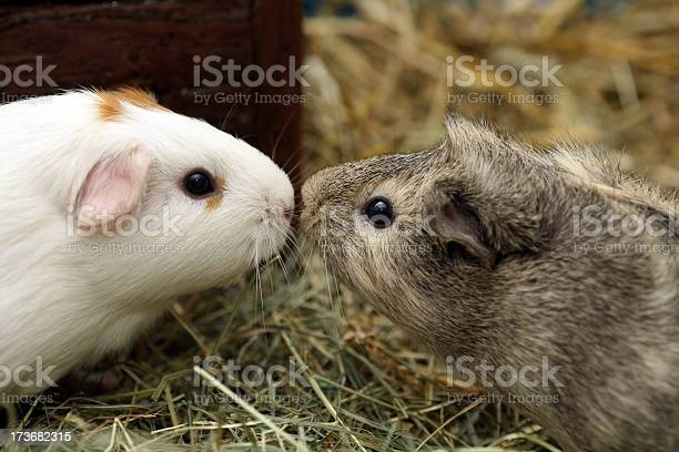 Two guinea pigs in love kissing picture id173682315?b=1&k=6&m=173682315&s=612x612&h=0vwotwsotrba8ppktpbu2vqtufverqaqstyxc2rcysi=