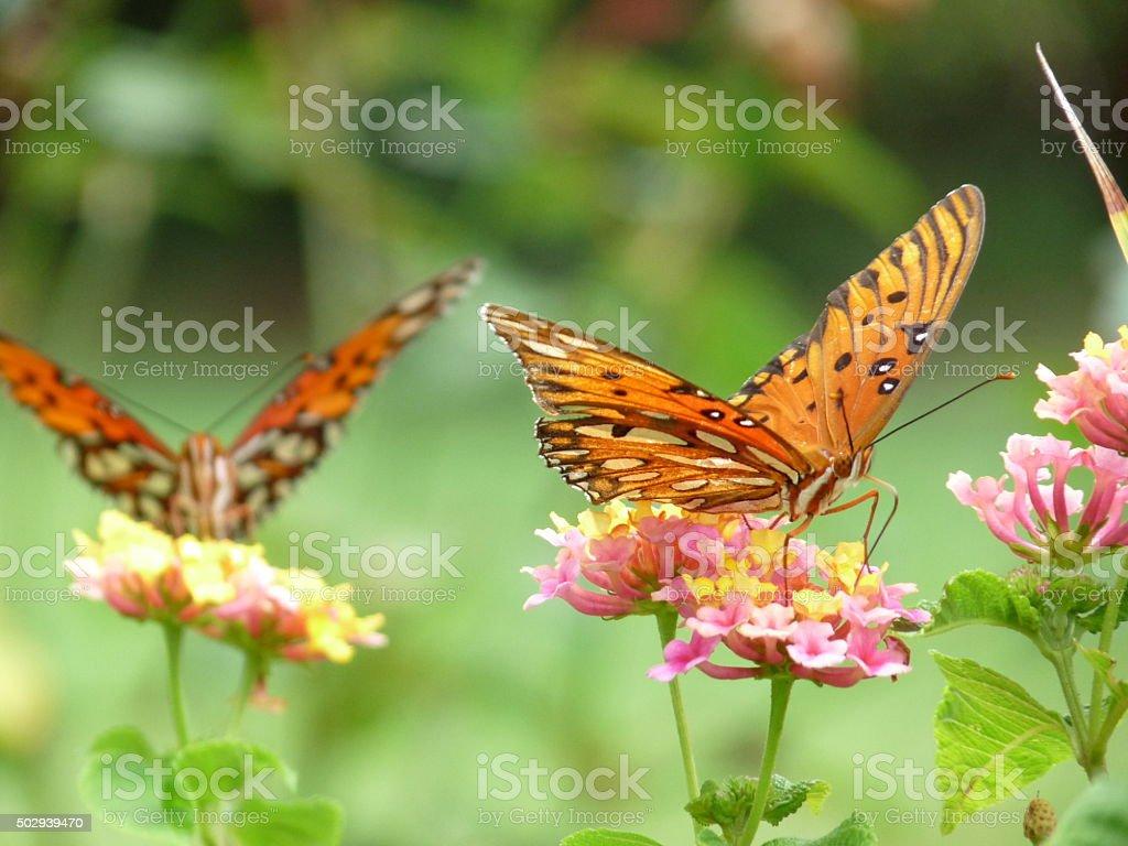 Two Gulf Fritillary Butterflies Foraging Lantana Selective Focus on Nearest stock photo