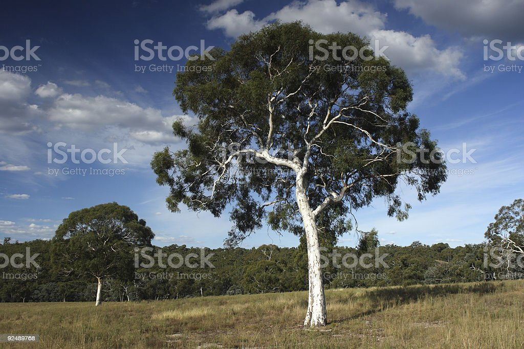 Two gum trees royalty-free stock photo