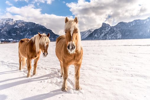 Two Haflinger horses on the winter meadow and mountain peaks on background.