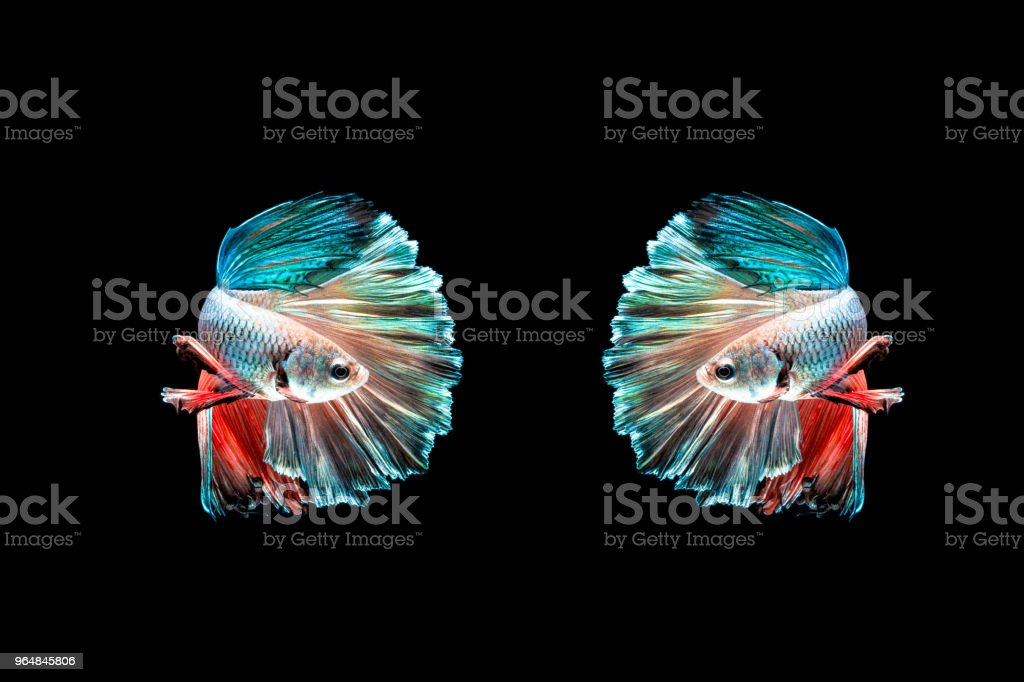 Two half moon betta beautiful fish. capture the moving moment beautiful of siam betta fish in thailand on black background. Rhythmic of Betta fish, siamese, fighting fish, betta splendens. royalty-free stock photo