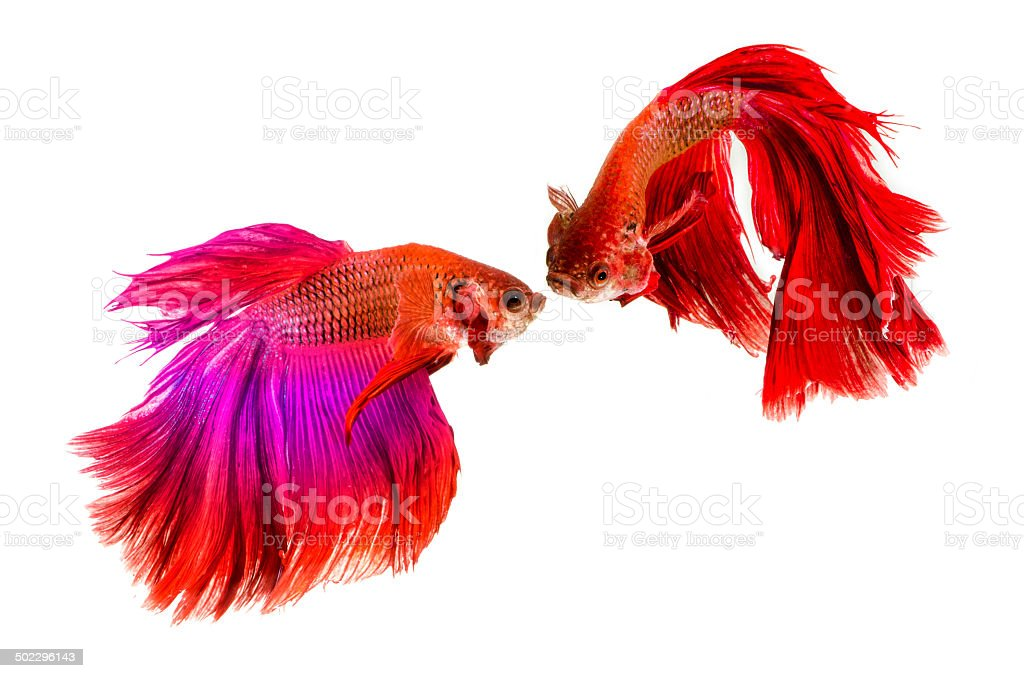 Two Halfmoon Siamese Fighting Fishes isolated on white background. stock photo