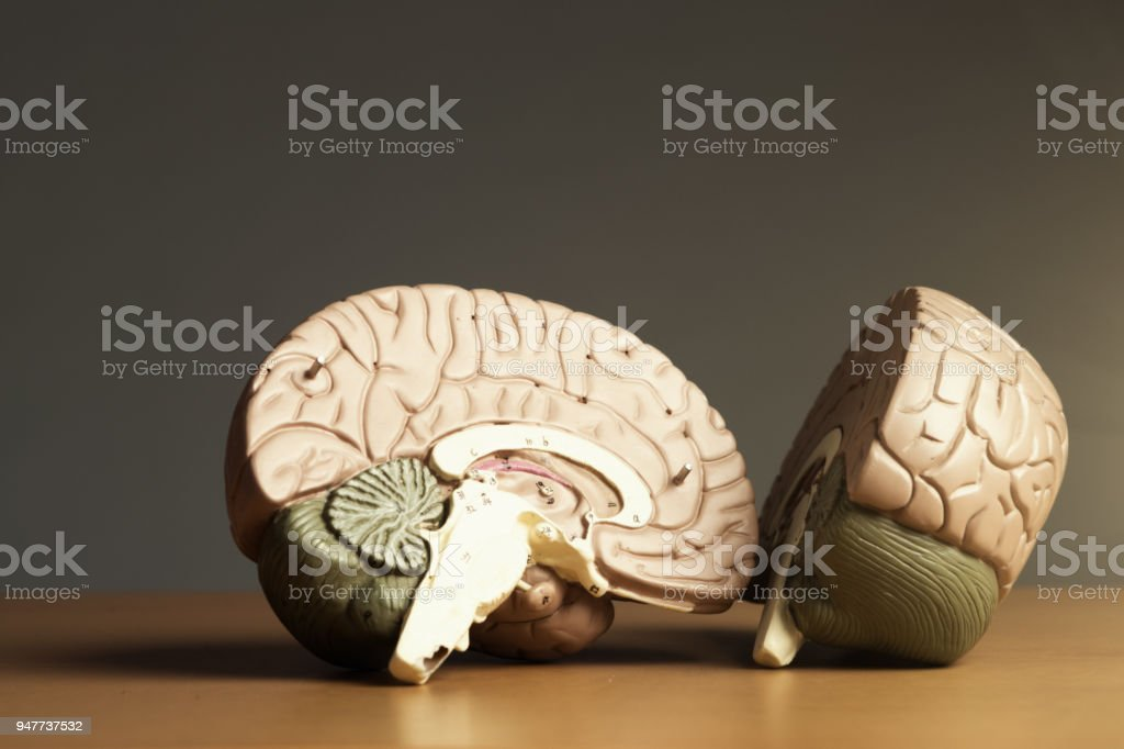 Two halves of a brain stock photo