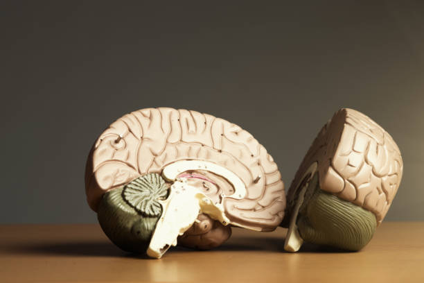 Two halves of a brain Two halves of a medical model of a human brain. halved stock pictures, royalty-free photos & images
