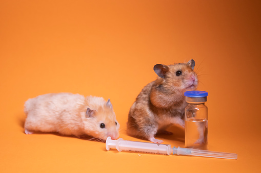 two hamsters - mouse, brown and beige, near medical syringe with a needle and bottle-phial isolated on orange background. medical experiments, tests on mice. veterinary. vaccine development.