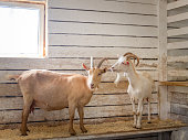 Two hand-held adult goats in a barn on the farm. Horizontal orientation, selective focus.