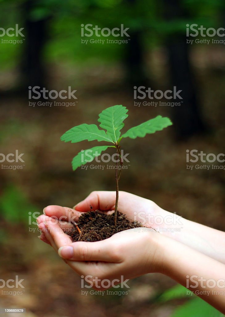Two hands holding a young oak tree royalty-free stock photo