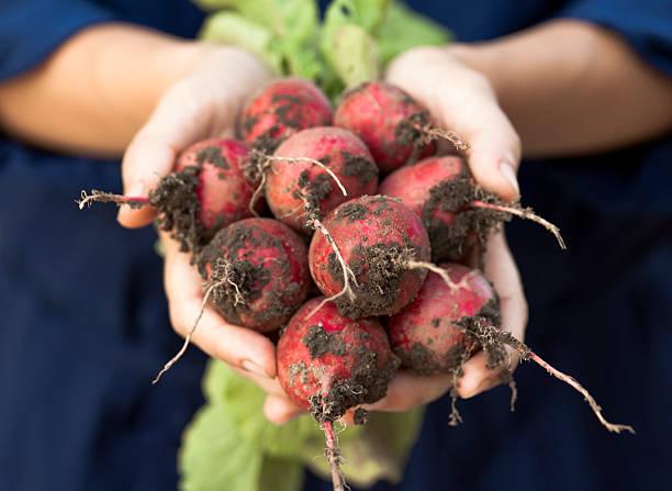 Frische radishes mit Wurzeln. – Foto