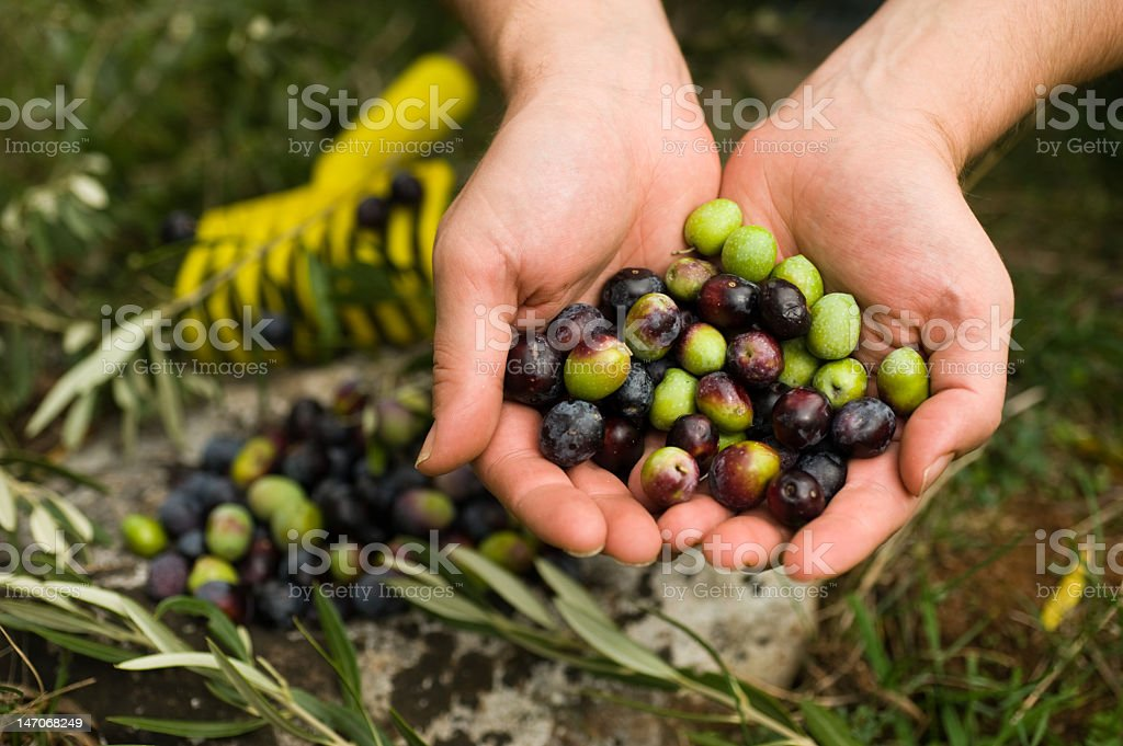 Two hands holding freshly picked olives stock photo