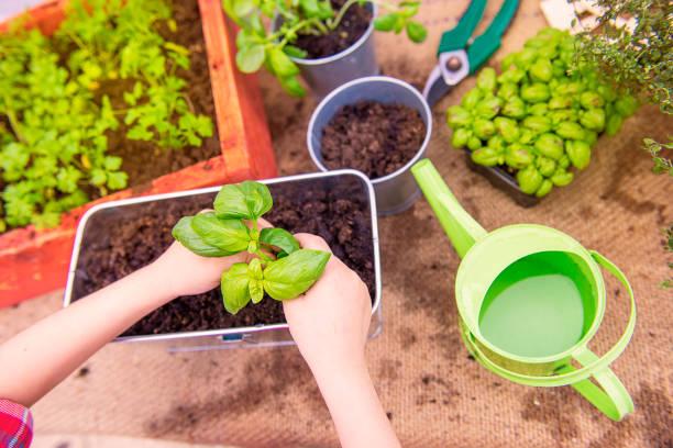 zwei Hände Pflanzung vonficinal Kräuter – Foto