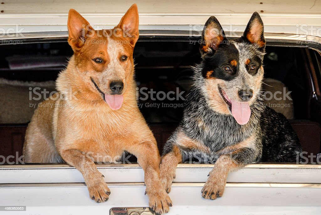 Two Happy Australian Cattle Dogs at Car Window​​​ foto