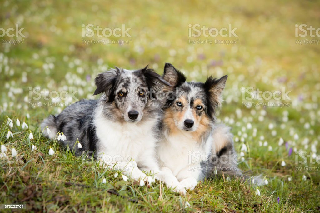 Two happy border collies in snowdrop flowers stock photo