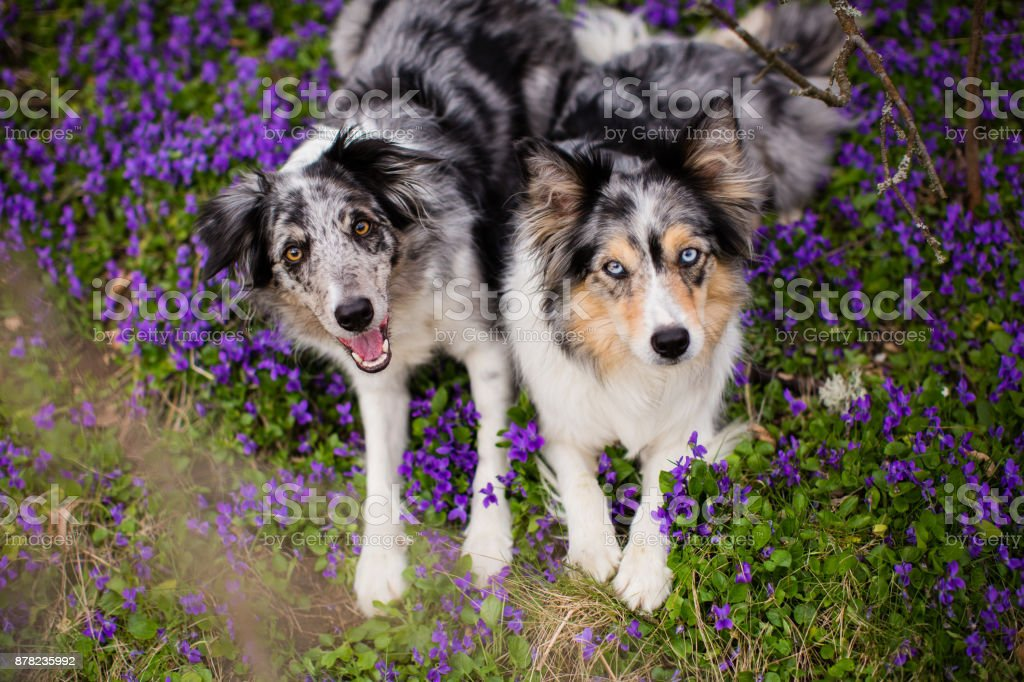 Two happy border collies in violets flowers stock photo