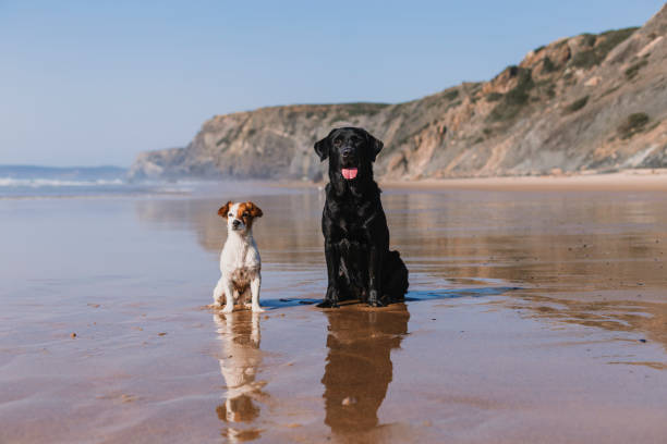 two happy dogs having fun at the beach. Sitting on the sand with reflection on the water at sunset. Cute small dog and black labrador. Summertime. Holidays. Pets outdoors. LIfestyle stock photo