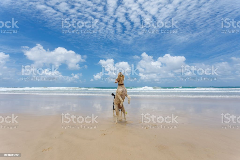 Two Happy Dogs Playing On Pristine Beach in Australia Running And...