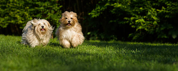 Two happy havanese dog running towards camera in the grass Two happy havanese dog is running towards the camera in the grass - wide banner format approaching stock pictures, royalty-free photos & images