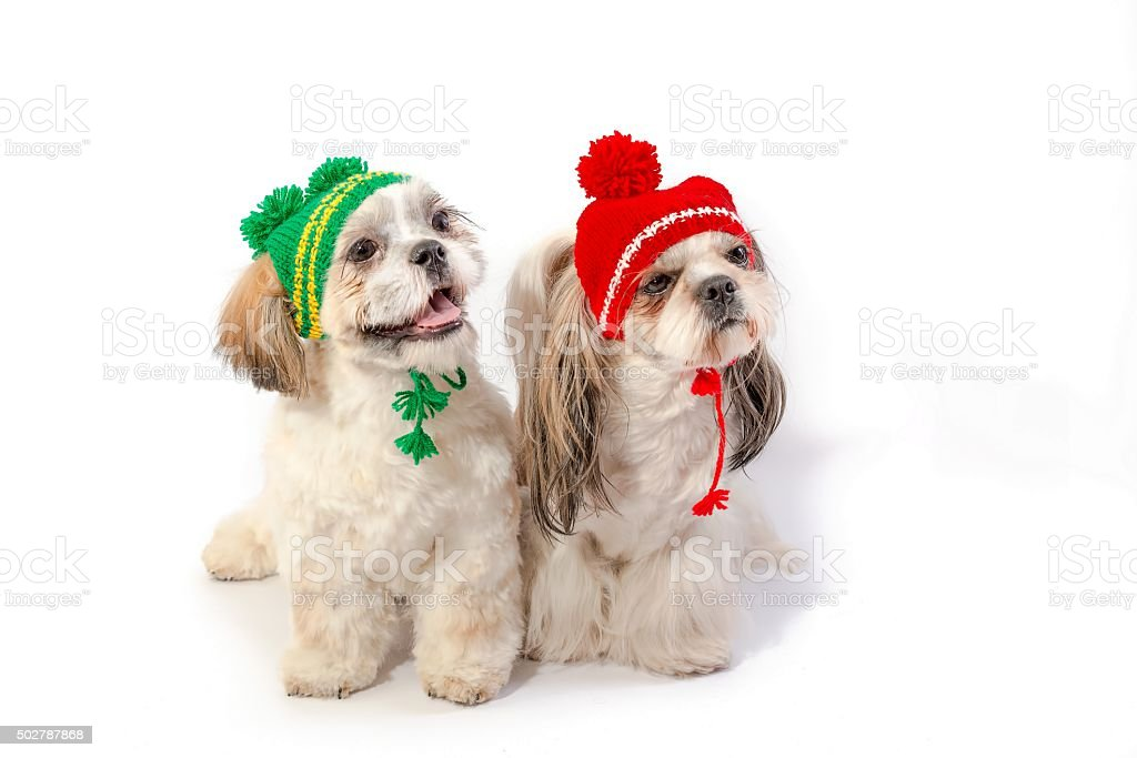 Two Happy Shihtzu Puppies In Winter Hats Stock Photo Download Image Now Istock
