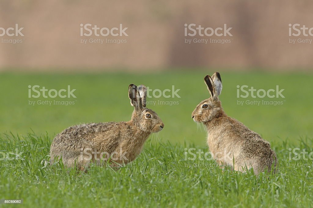 Two Hares on the field stock photo