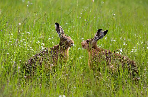 Zwei Hasen. – Foto