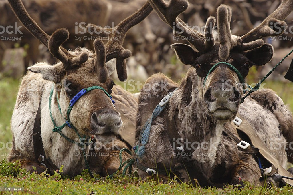 Two harnessed stock photo