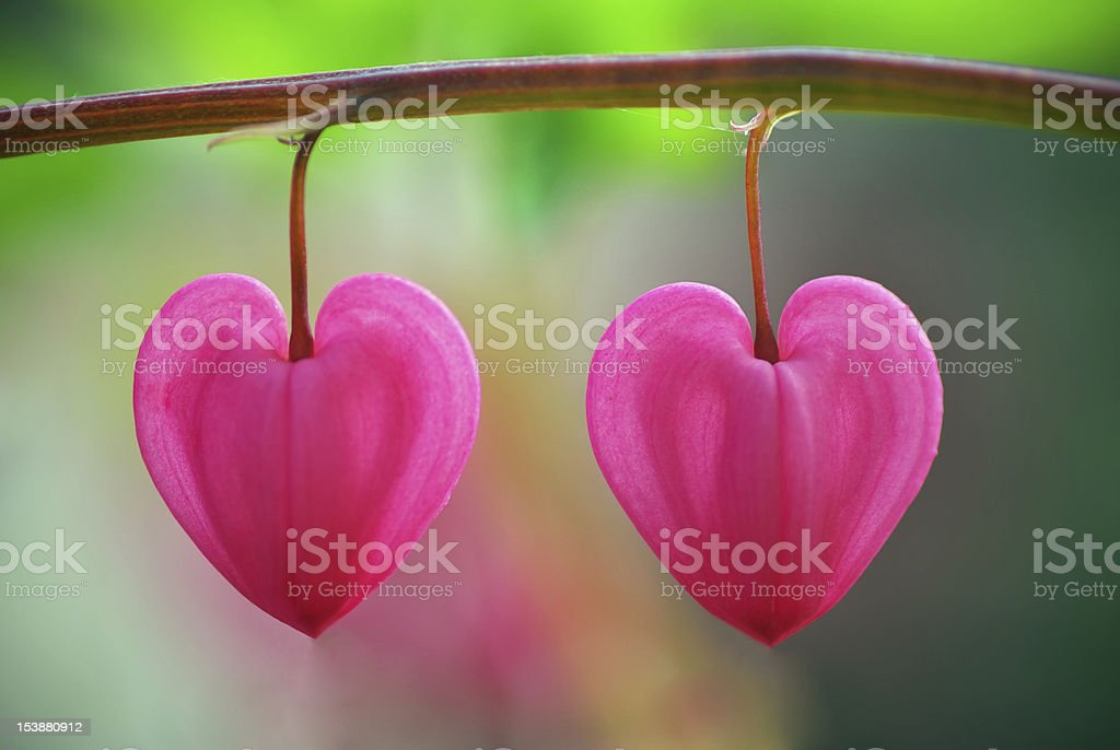 Two heart flower stock photo