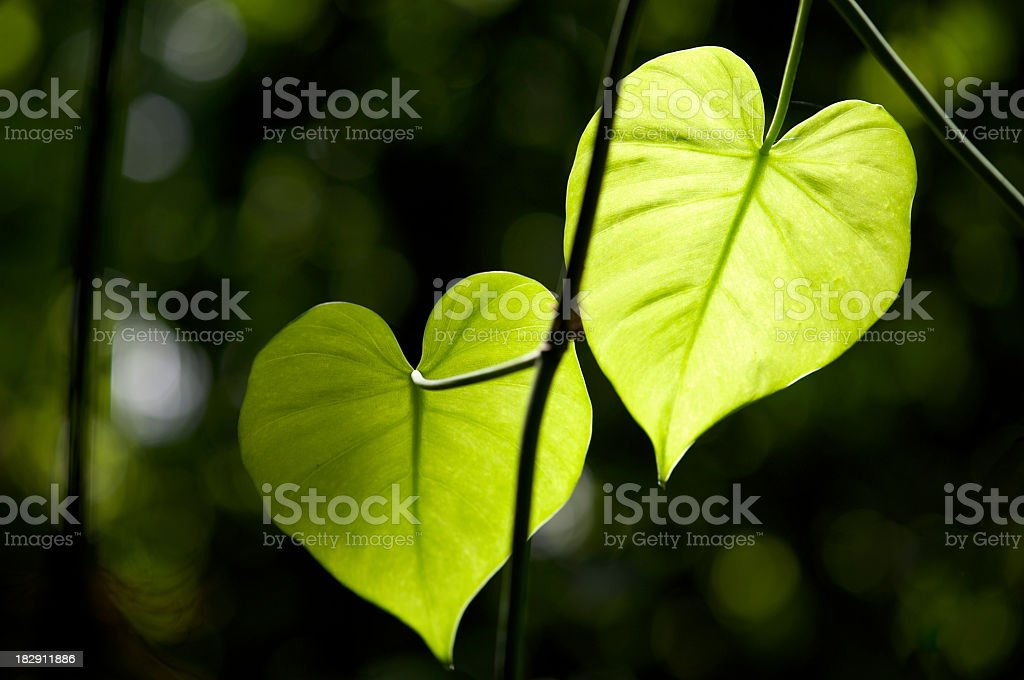 Zwei herzförmigen Blätter Sonnenlicht erstrahlen in den Dschungel – Foto
