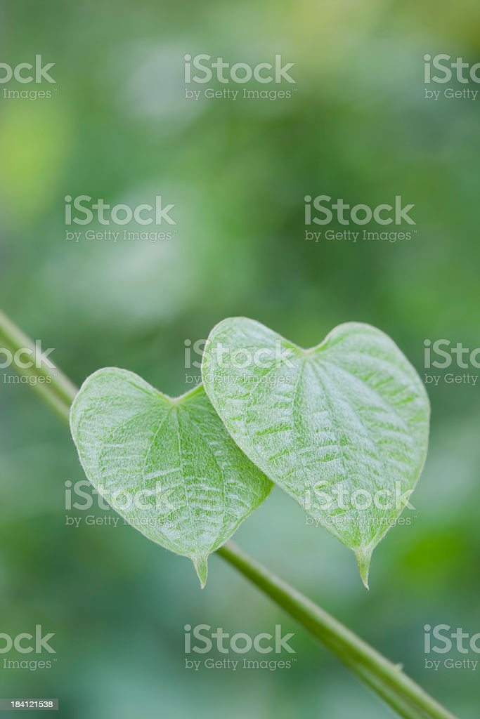 Two heart shaped vine leaves embrace each other. royalty-free stock photo