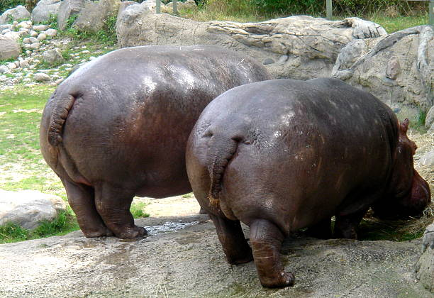 two heavy hippo's bottom - hippo tail stock photos and pictures