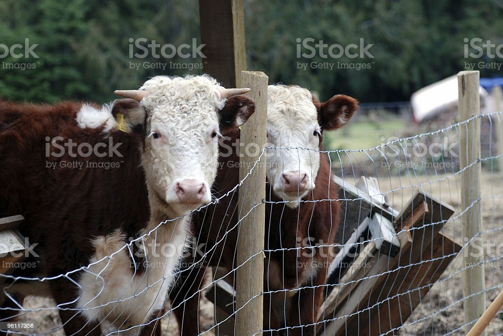 Two Herford Cattle Heads - Close up royalty-free stock photo