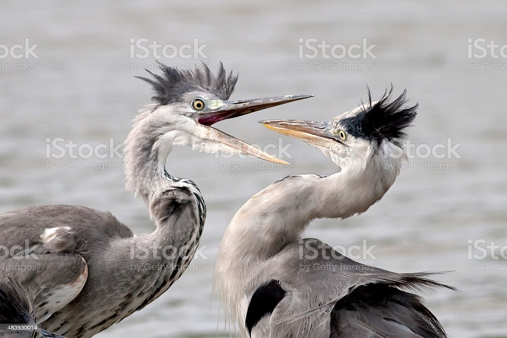 two herons fighting stock photo