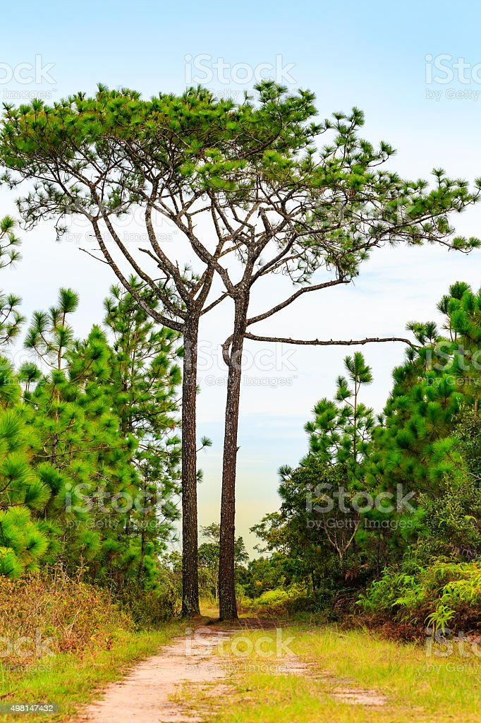 Two high pine trees on the way to forest stock photo