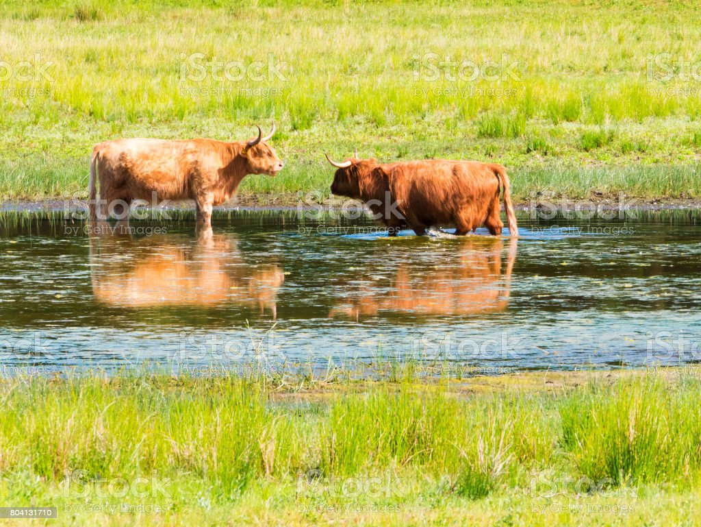 Two highland cows cool off in pond on hot summer day in nature reserve, Netherlands stock photo